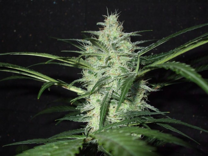 StarRyder day 85 full bloom cannabinium 000.jpg