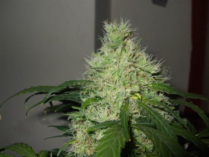 StarRyder day 85 full bloom cannabinium 012.jpg