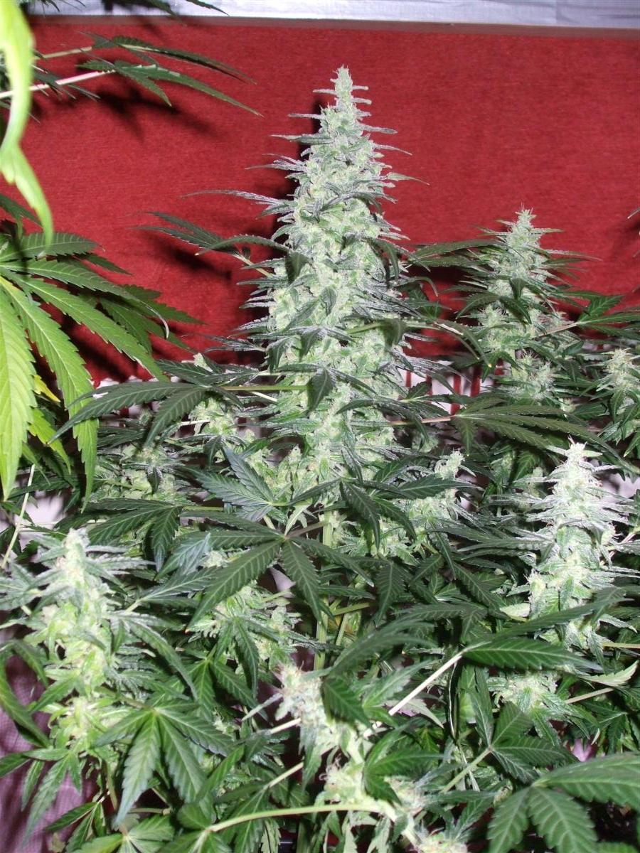 Dutch Passion Sativa Fest DF & PP D62 F38 014.jpg