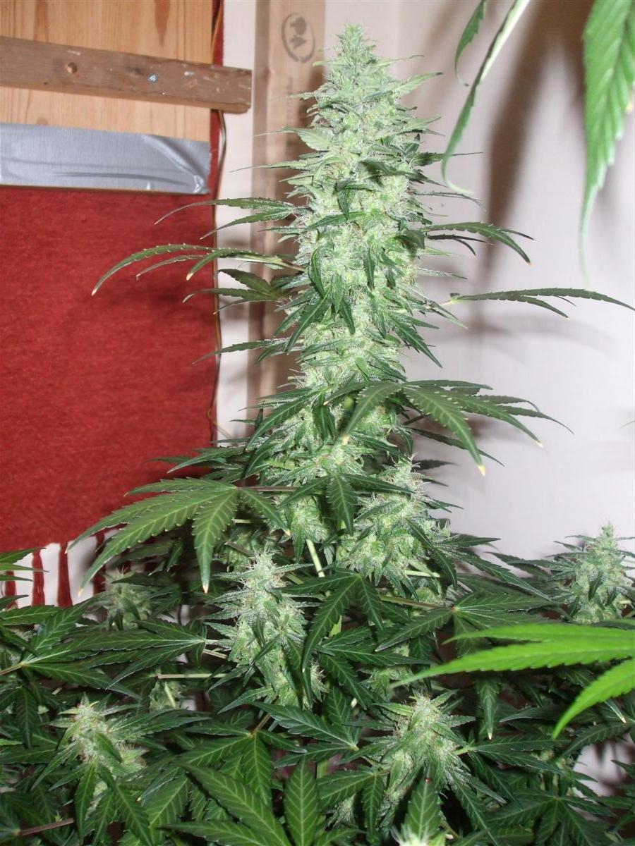 Dutch Passion Sativa Fest DF & PP D62 F38 015.jpg