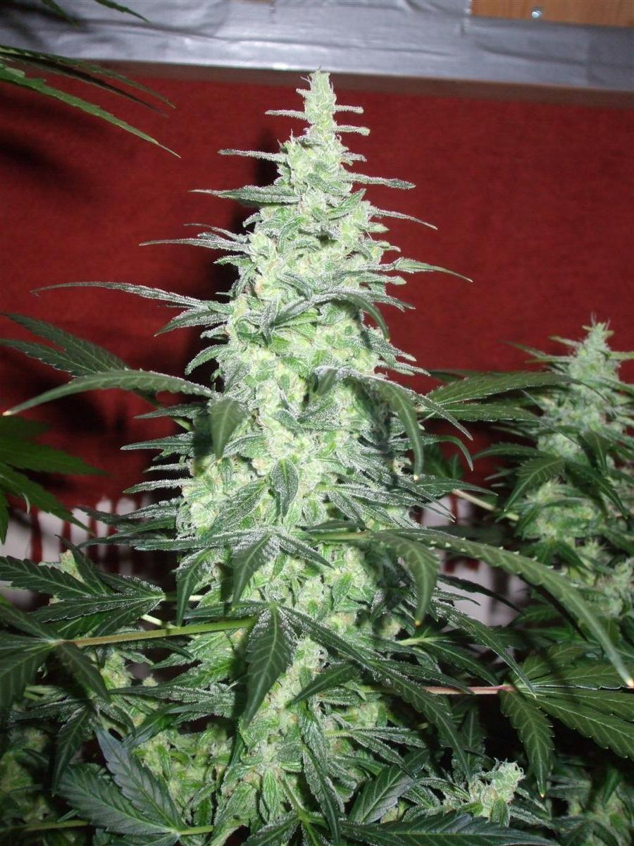 Dutch Passion Sativa Fest DF & PP D62 F38 017.jpg