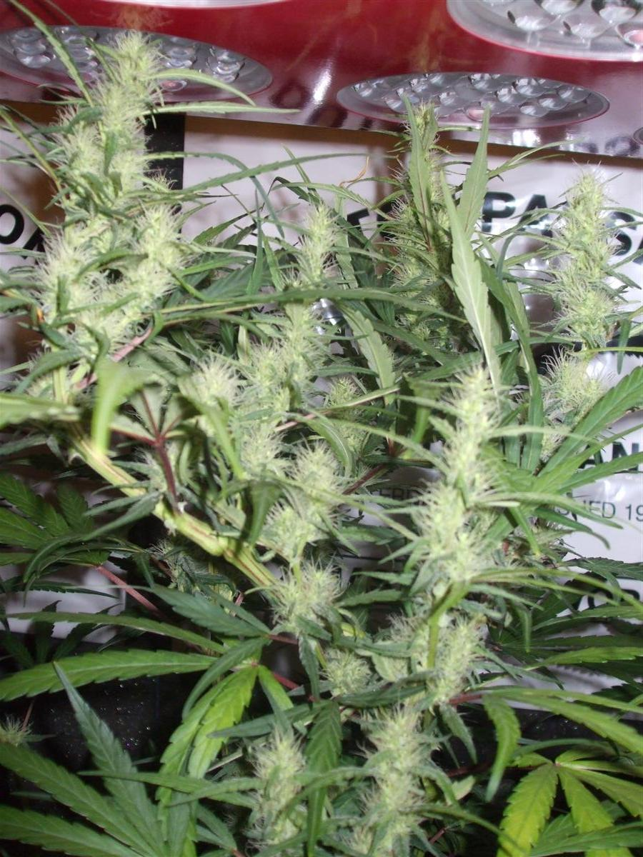 Dutch Passion Sativa Fest DF & PP D62 F38 005.jpg