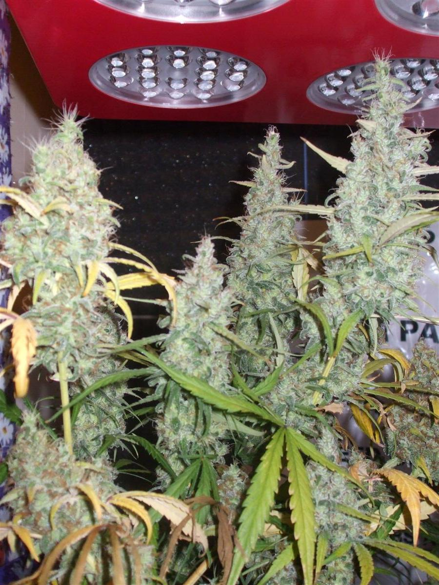 Dutch Passion Sativa Fest DF & PP D91 F65 019.jpg