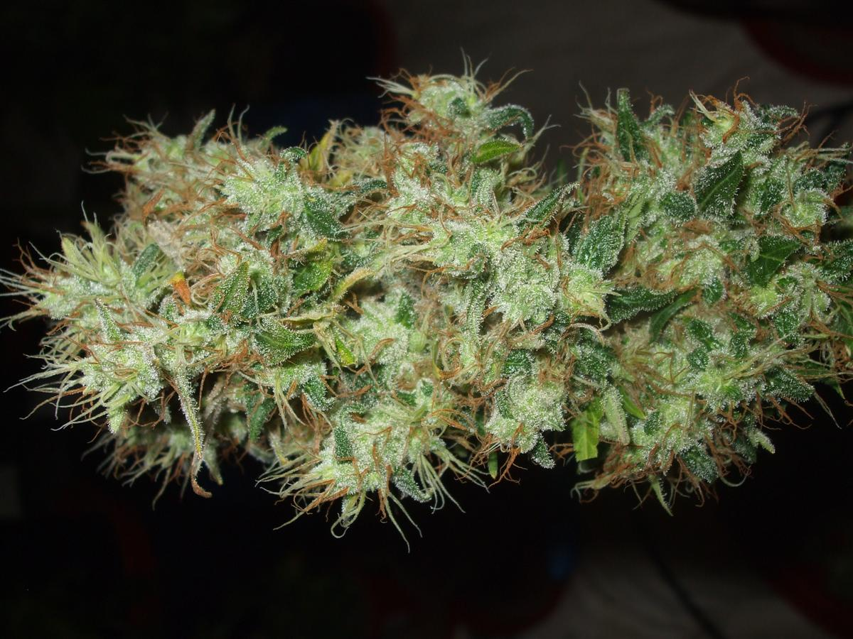 Dutch Passion Sativa Fest DF & PP D91 F65 harv 008.jpg