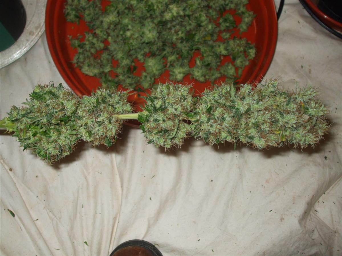 Dutch Passion Sativa Fest DF & PP D91 F65 harv 009.jpg