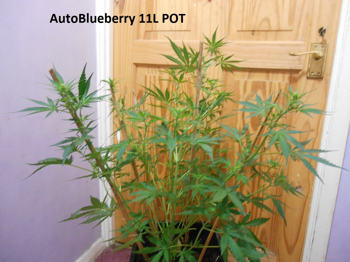 AutoBlueberry 11L POT1.jpg