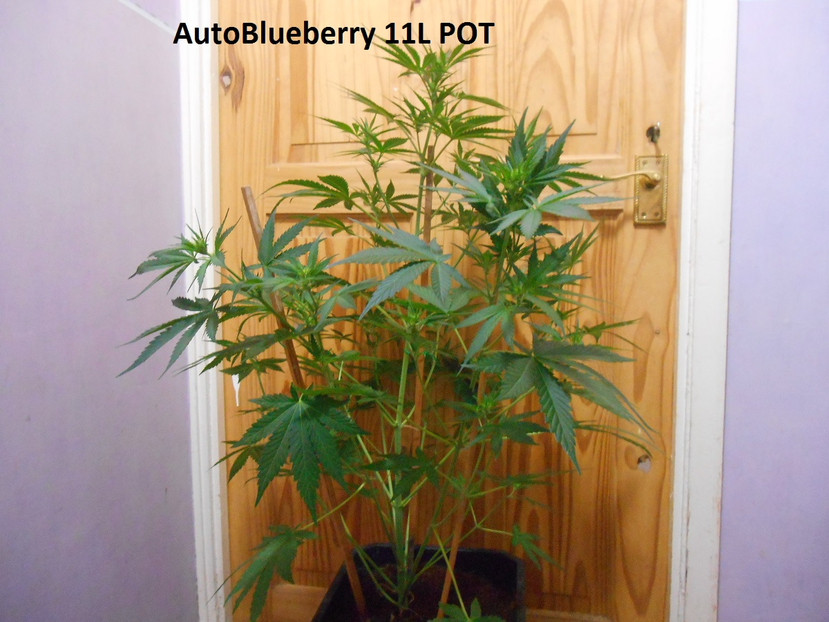 AutoBlueberry 11L POT3.jpg