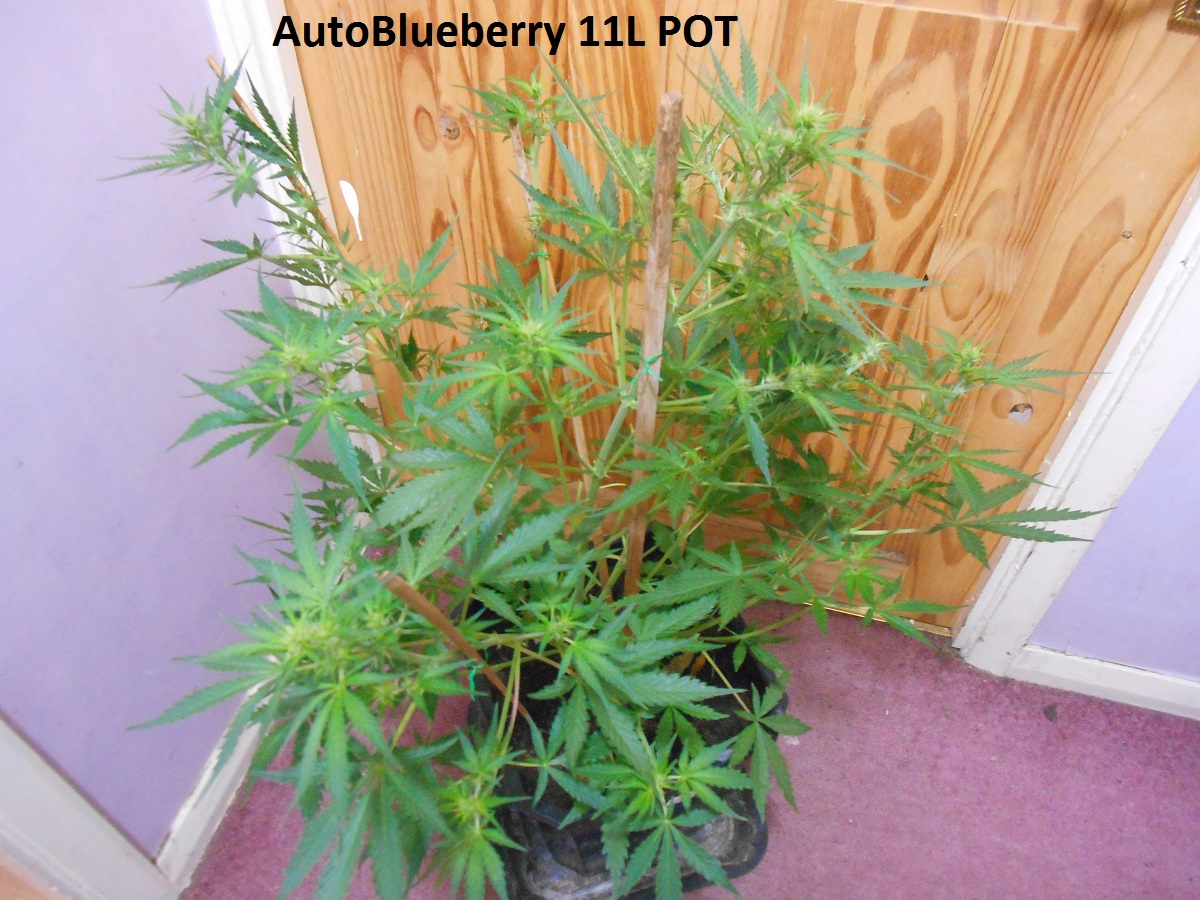 AutoBlueberry 11L POT4.jpg