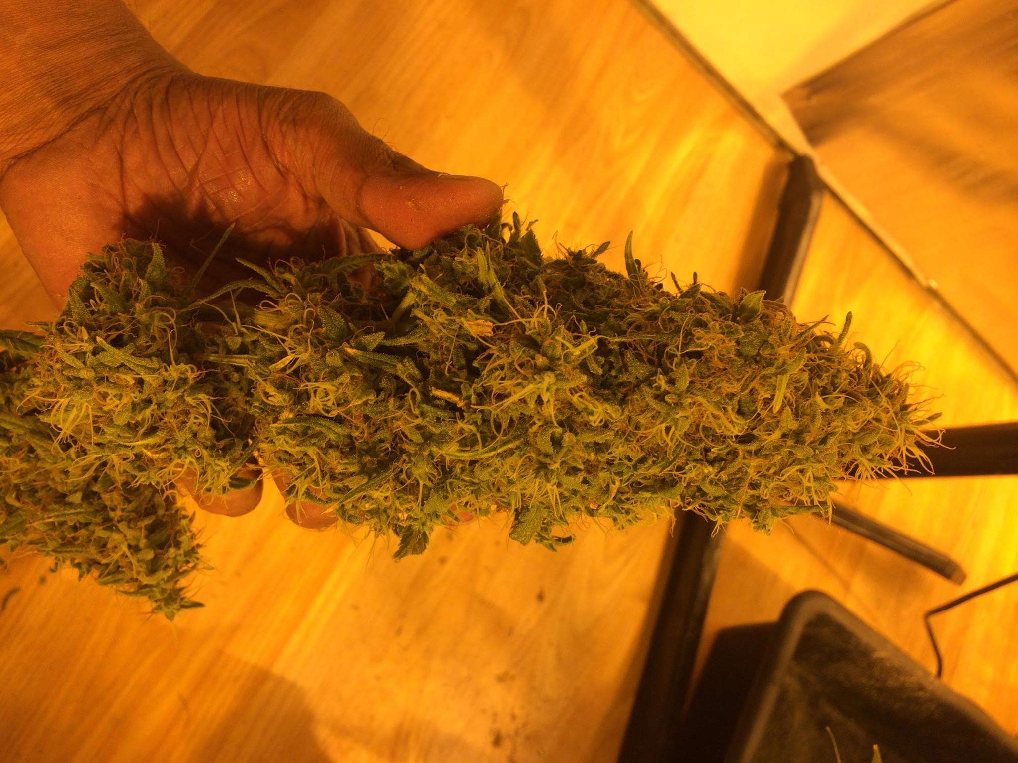 Barneys Farm Liberty Haze4.jpg