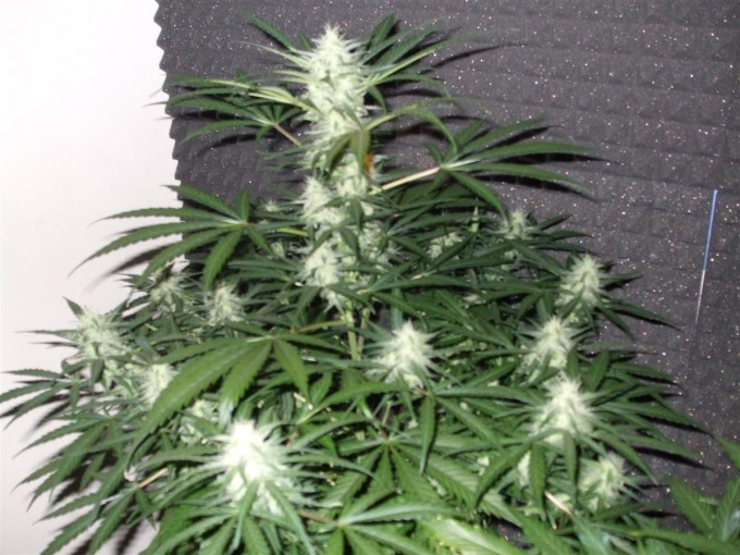 StarRyder day 73 full bloom cannabinium 014.jpg